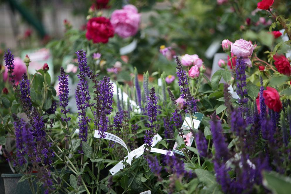 Ganz und zu Extrem Rosen, Lavendel, Stauden in den Baumschulen Späth in Berlin @AK_05