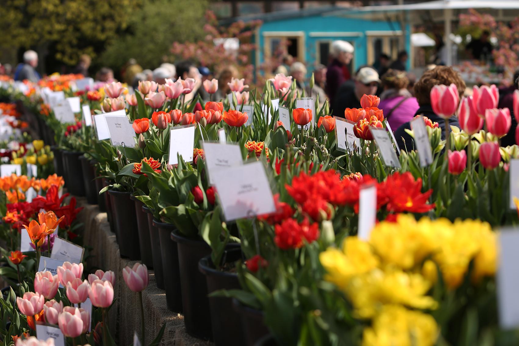 Späth'er Frühling: Tulpensortenschau auf der Festwiese, 1,13MB