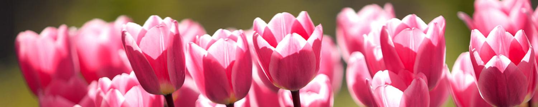 300 Tulpensorten aus aller Welt - Tulpenschau in Berlin