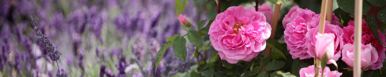 Edelrosen und Lavendel bei den Rosenwochen