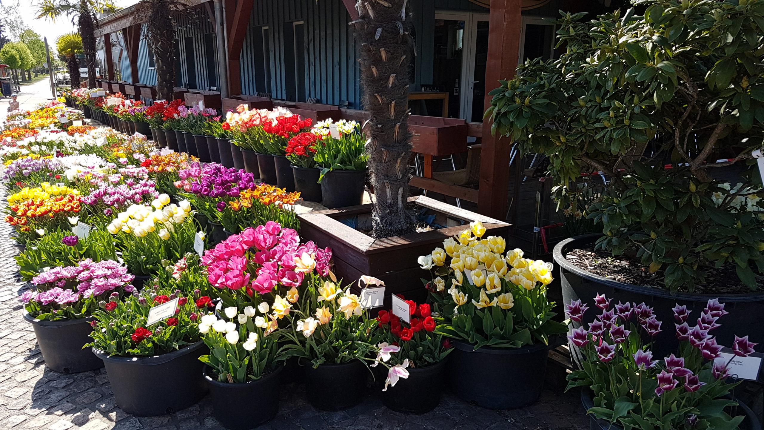Tulpensortenschau in den Späth'schen Baumschulen