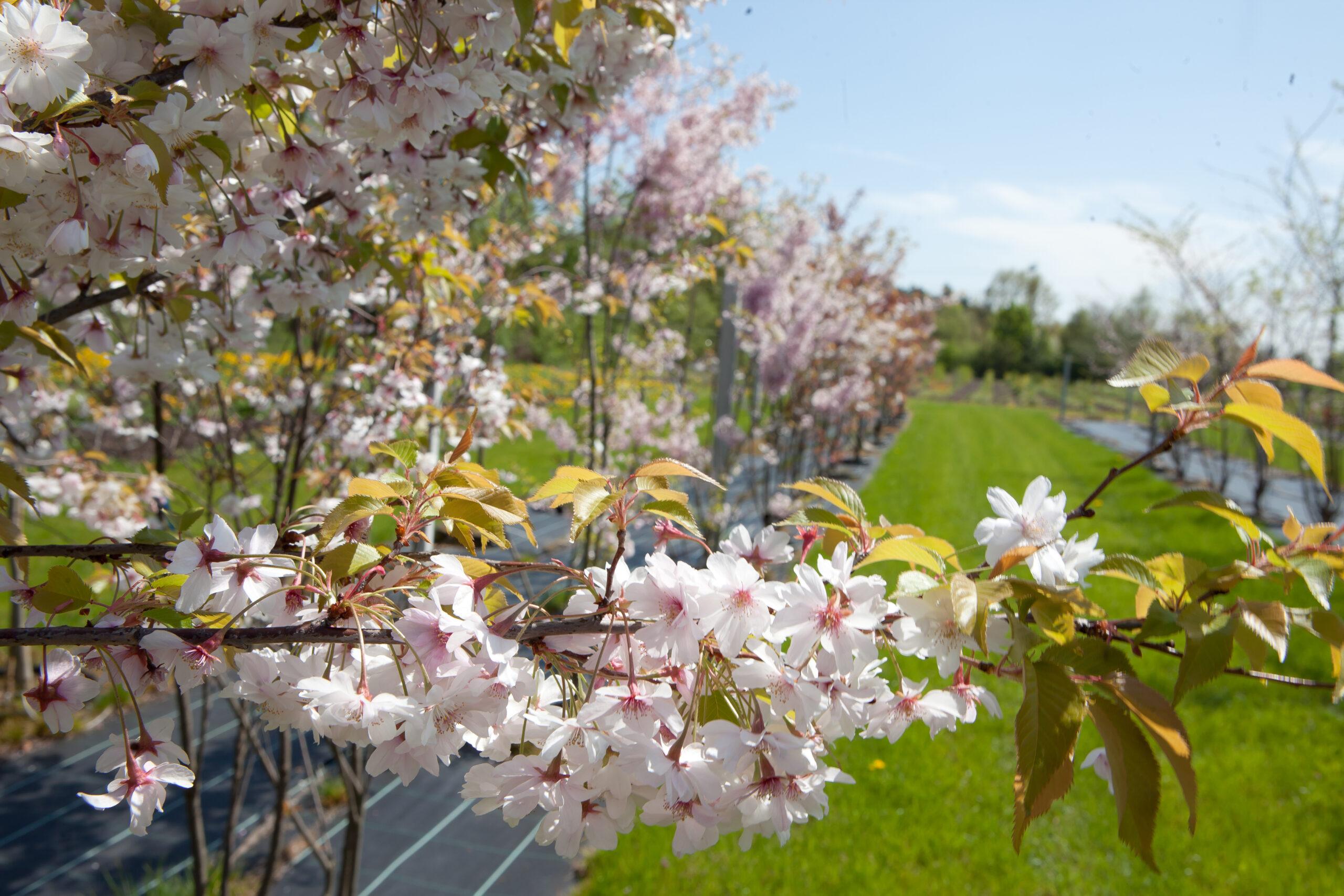 Späth'sche Baumschulen: Obstbaum-Produktion