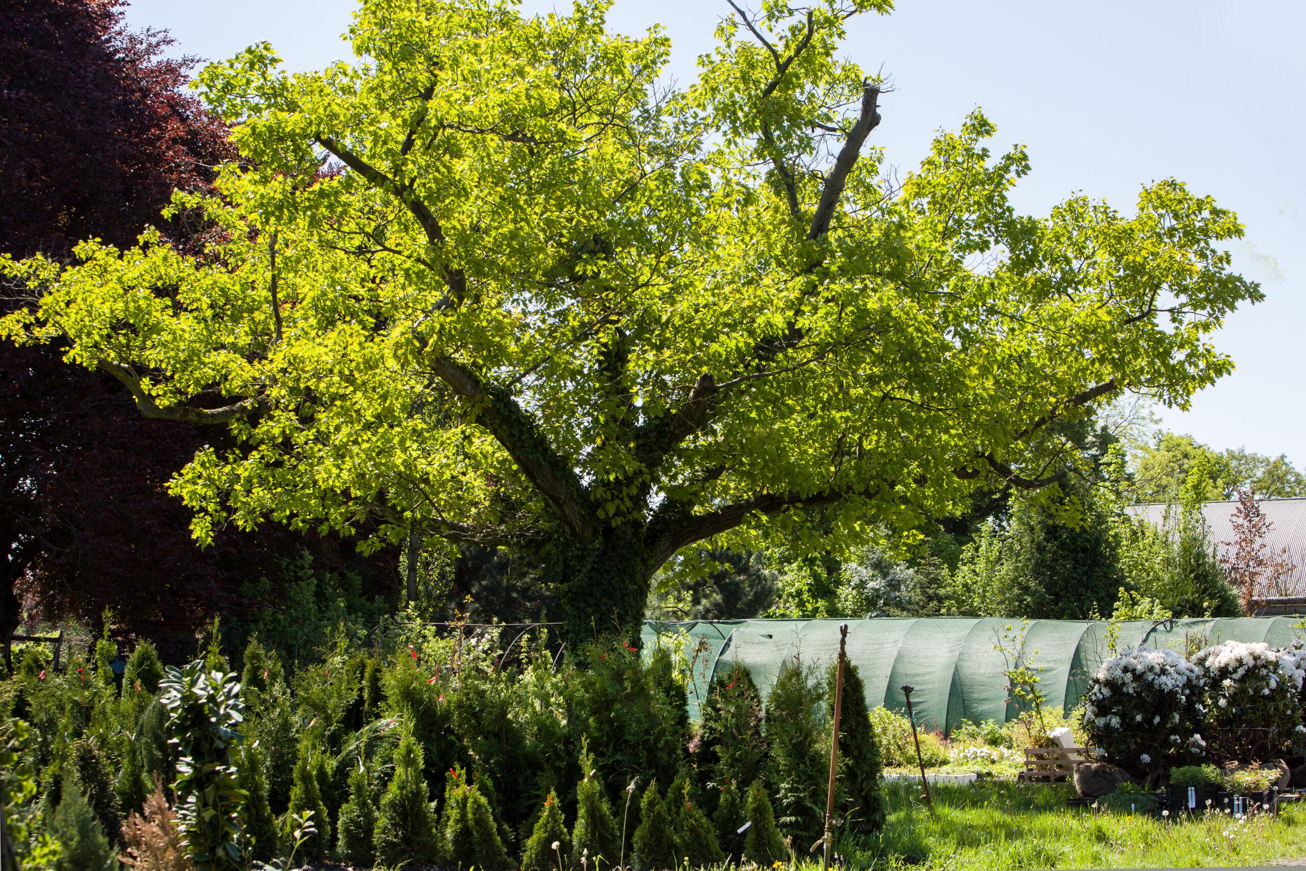 Späth'sche Baumschulen: Solitärbaum und Heckenpflanzen