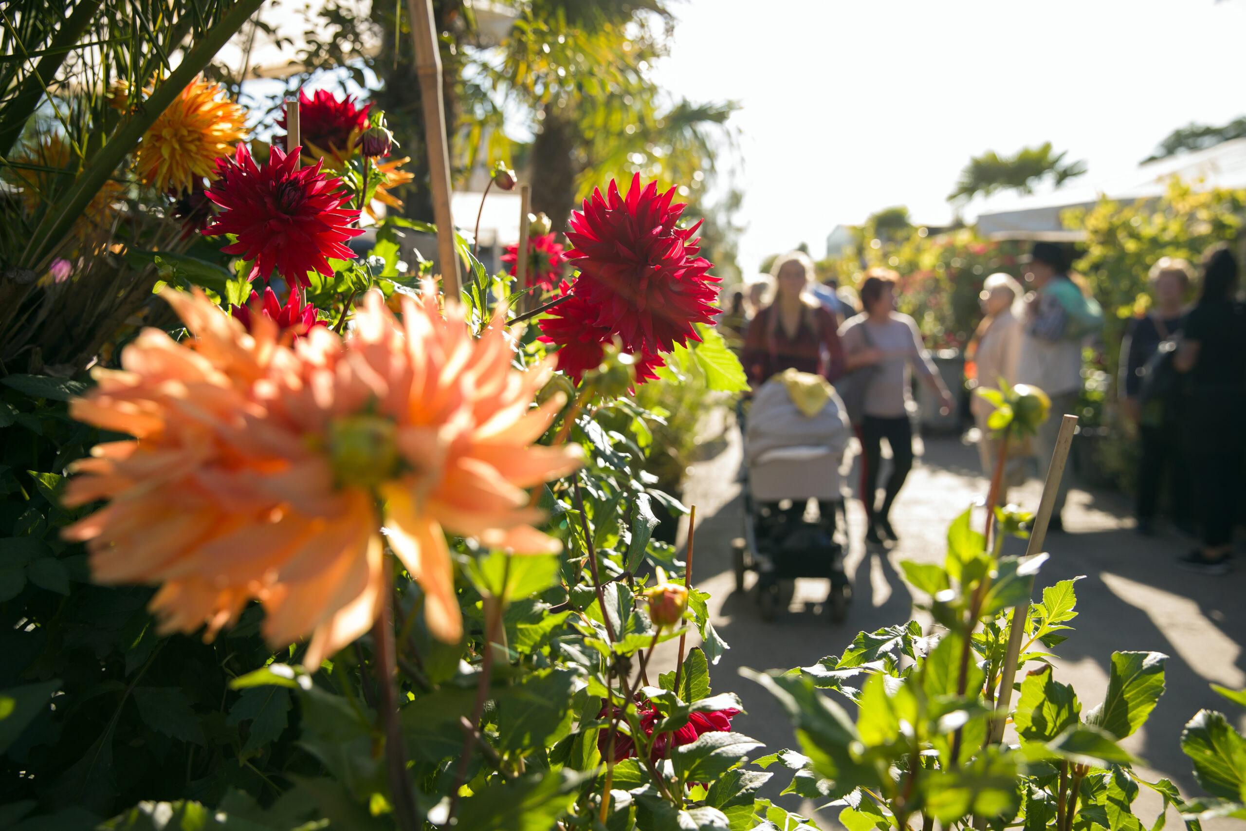 Späth'sche Baumschulen: Sortenschau mit 100 Dahlien beim Jubiläumsmarkt