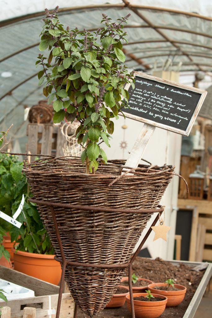 Basilikumpflanze im geflochtenen Weidenkorb