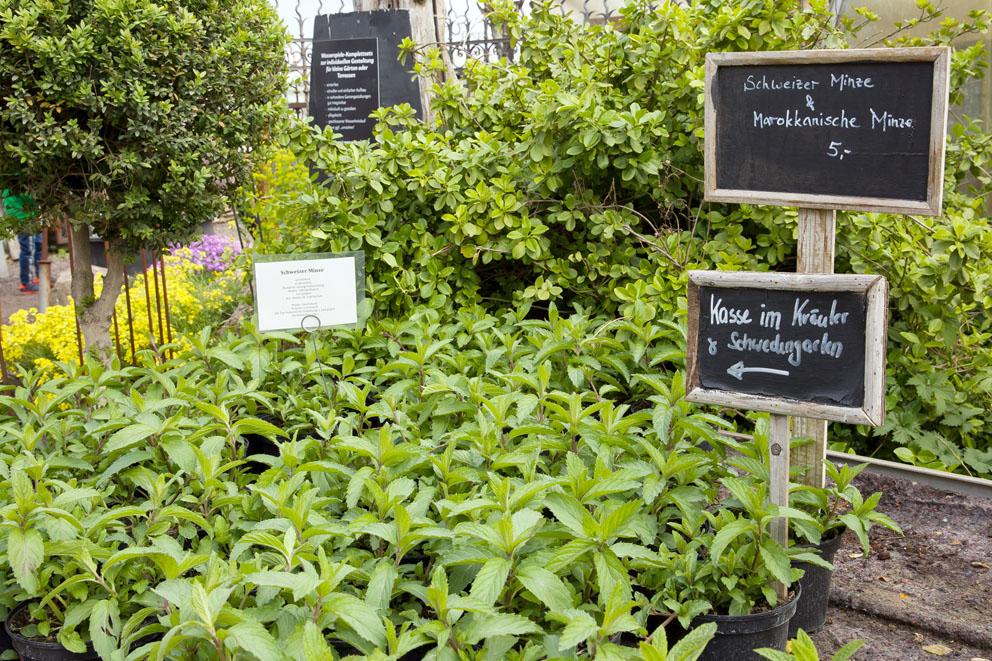 Minze-Kräuter im Frühling, Pflanzen in hellem Grün