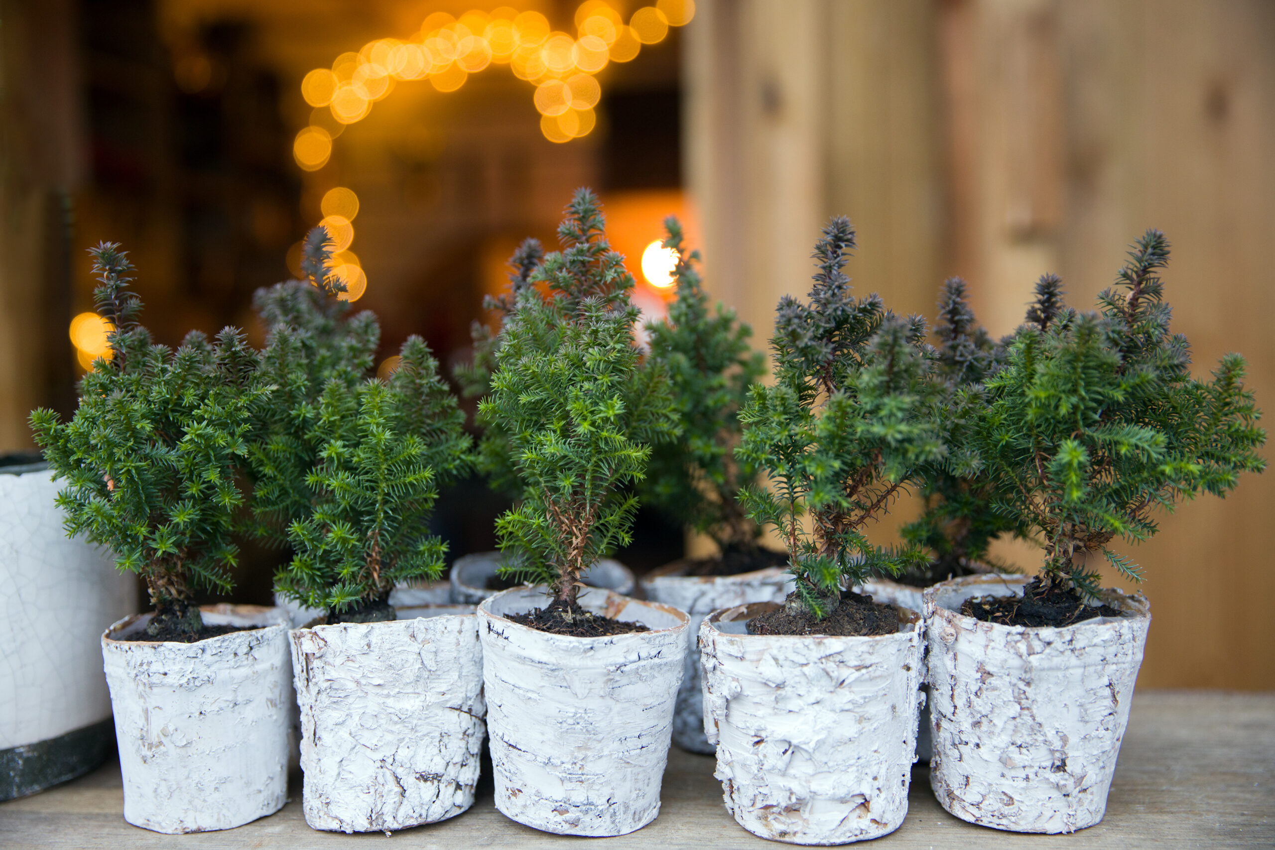 Kleine Weihnachtsbäumchen im Topf
