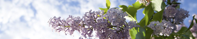 Violetter Flieder vor blauem Himmel