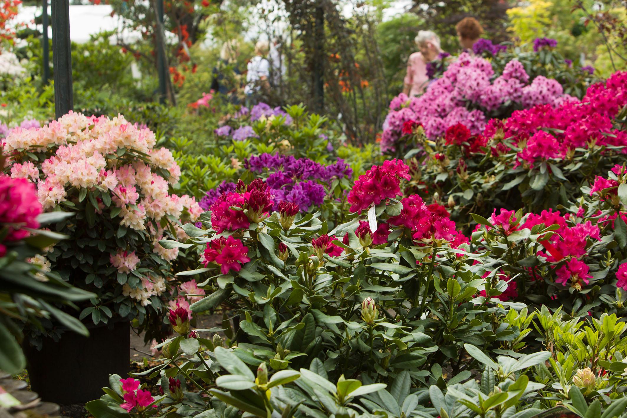 Blühender Rhododendron im Pflanzenverkauf mit Kundinnen im Hintergrund