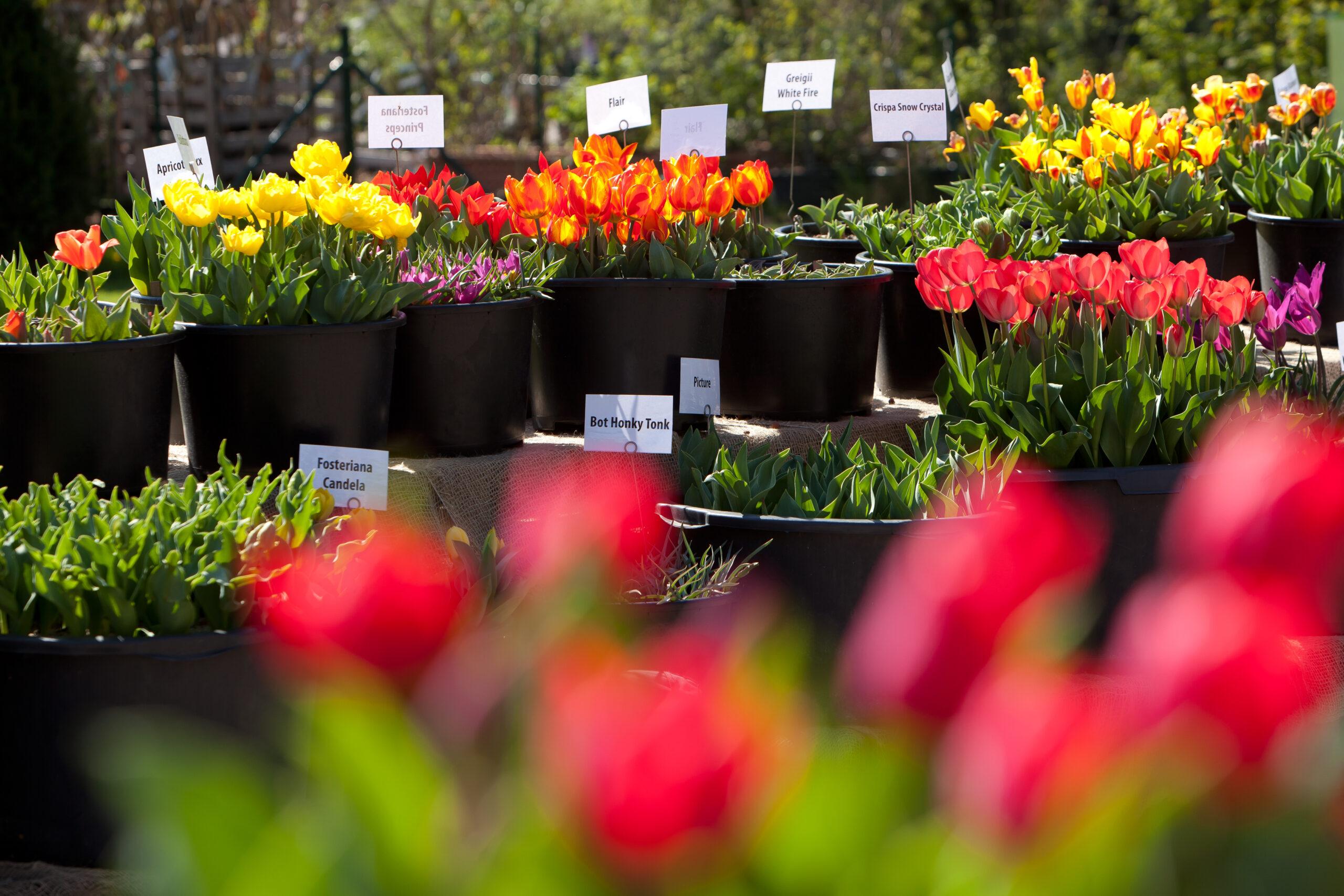 Pressefoto zur Tulpensortenschau in den Baumschulen Späth
